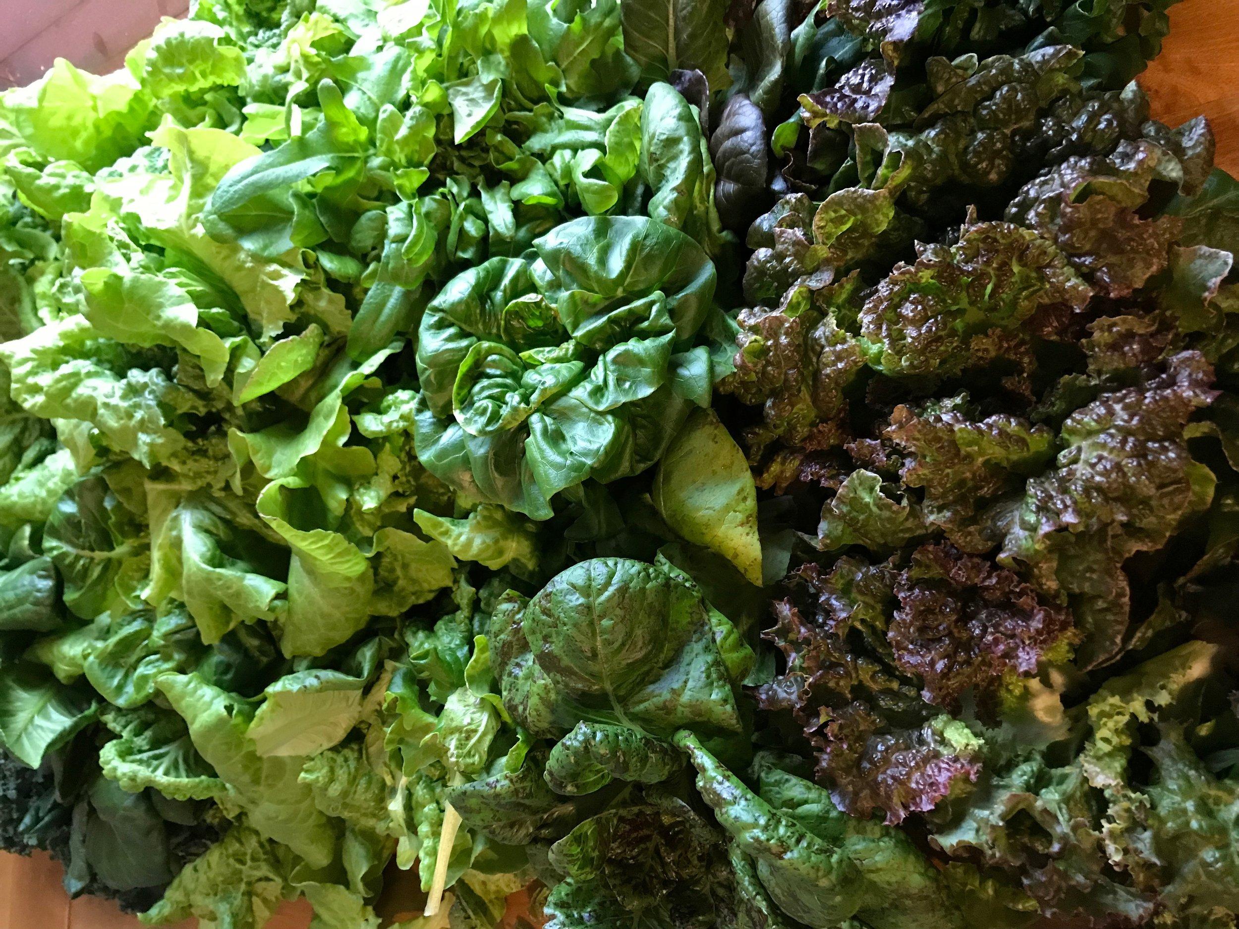 Lettuce Harvested.jpg