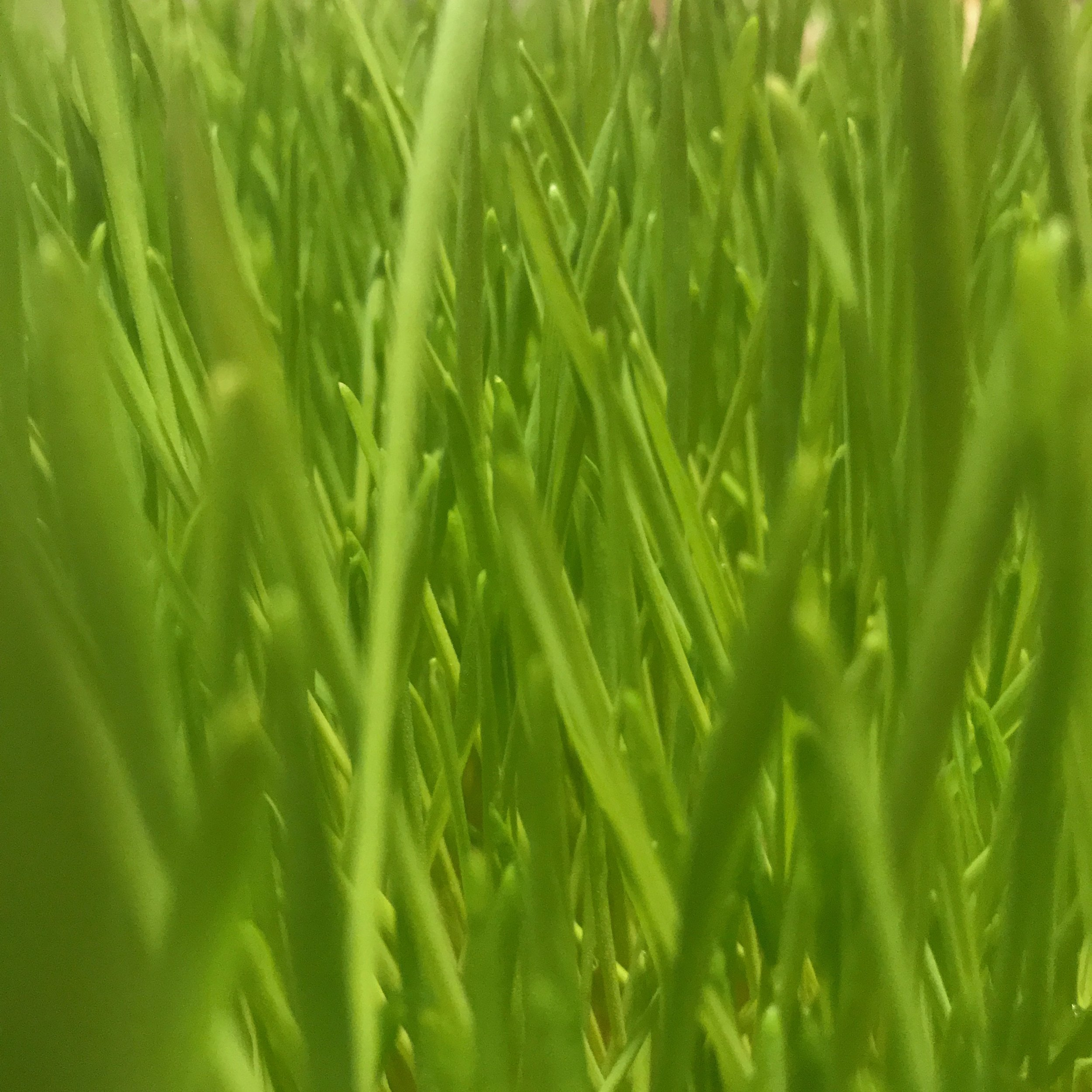 Wheatgrass close.jpg
