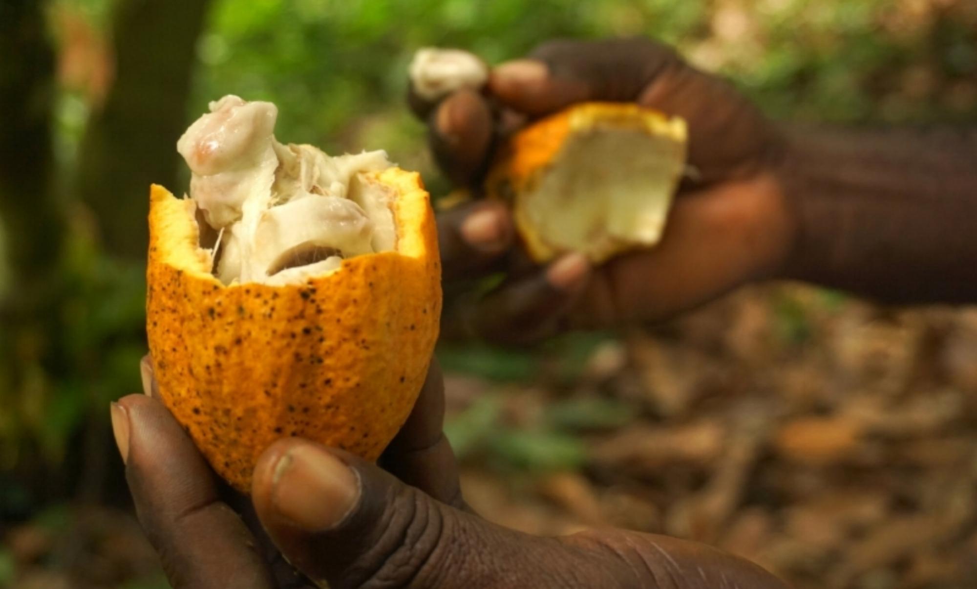 Cocoa bean from Ella's family farm in Ghana.