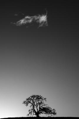 Bryant_Austin_Dual_Canopy_Oak_and_Cloud.jpg