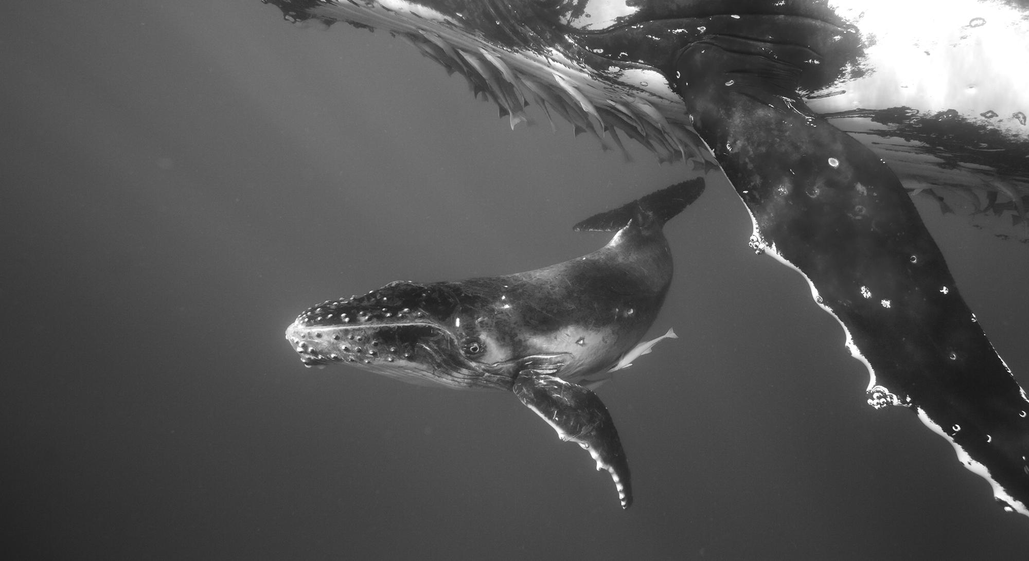 Humpback Whale Mother and Calf II, 2005