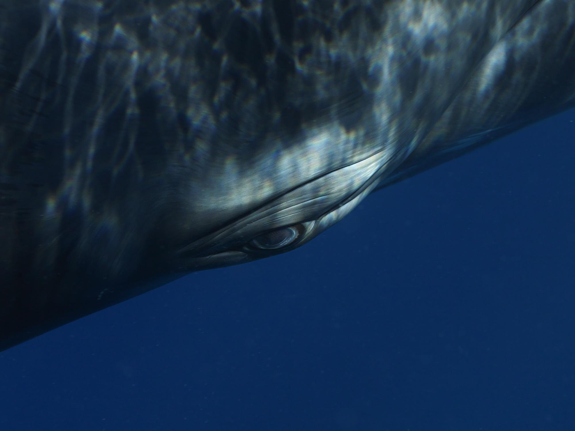 Minke Whale Portrait 1294, 2009