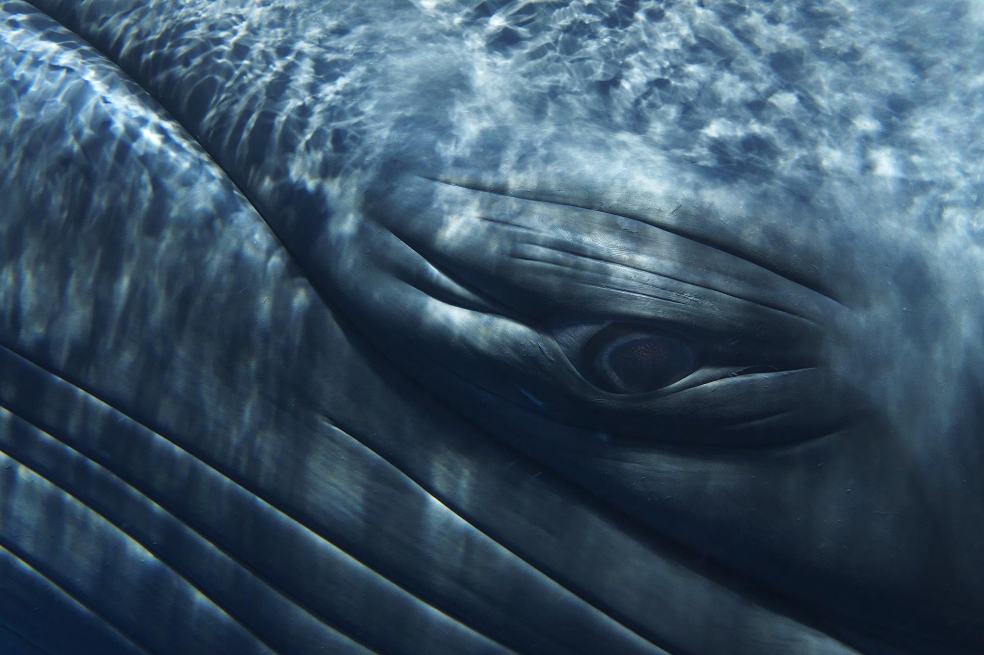 Minke Whale Composite Portrait I - Detail