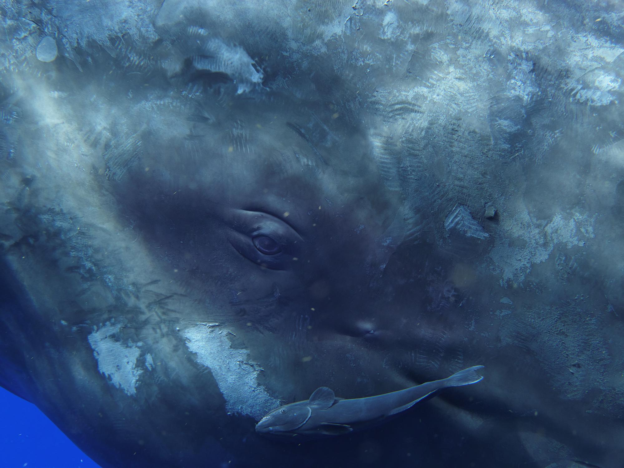 Sperm Whale Portrait 0321, 2009