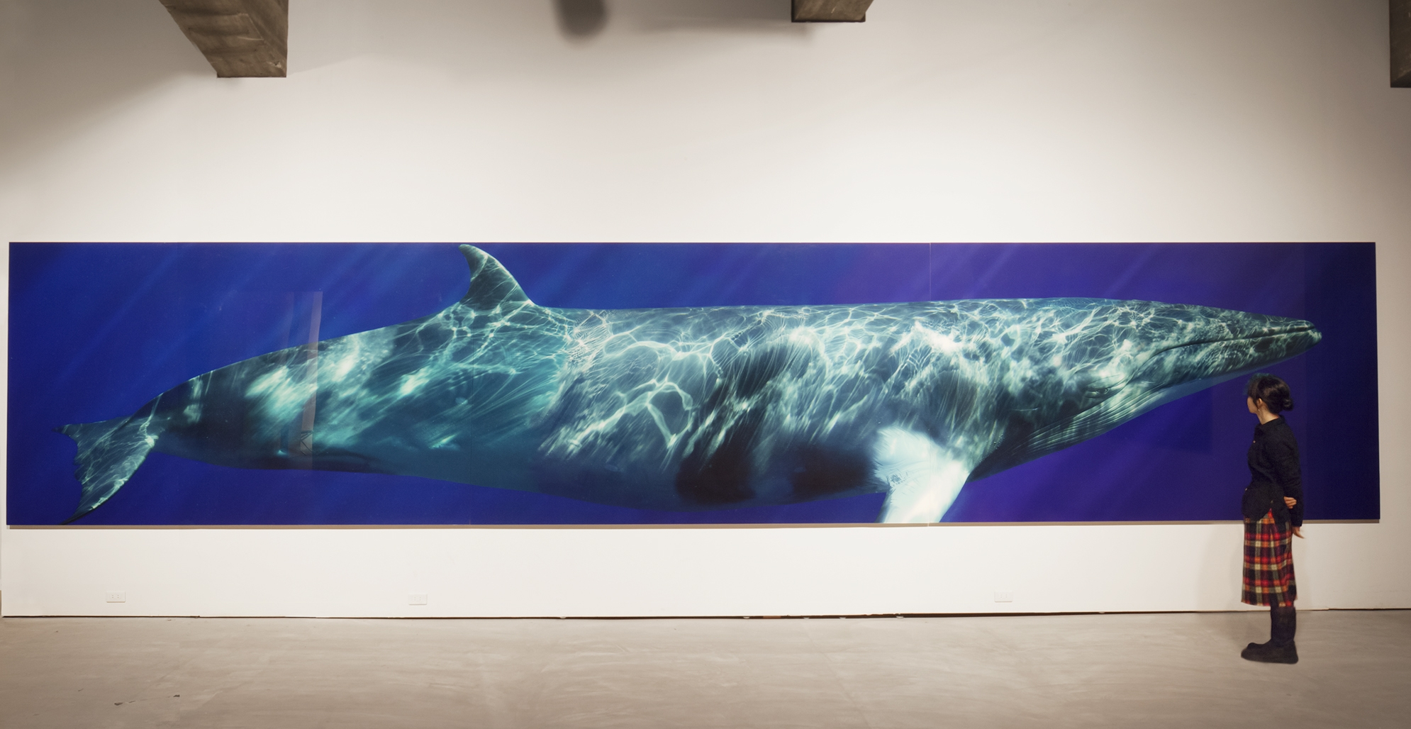 Beautiful Whale, 2008 to 2014 - The final life-size portraits created for Beautiful Whale using the Hasselblad H3D-50 camera and 80mm portrait lens underwater. A selection of these prints are also on display year around at The Focus Gallery, in Chatham, MA.