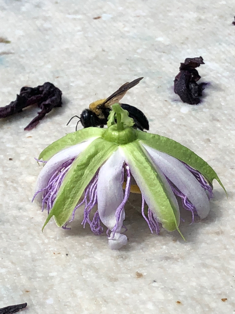Bubblebee, passion flower, and a sheet of drying paper. 2018. Photo courtesy of the artist.