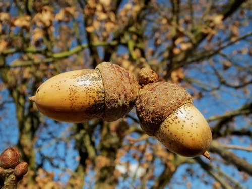 oak-quercus-robur-english-oak-tree-nuts-60025.jpeg