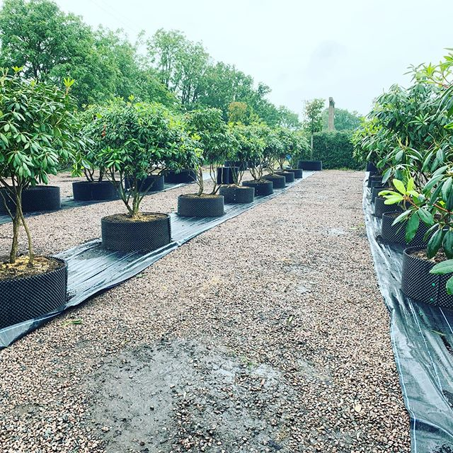Folia contract growing umbrella form Rhododendrons....