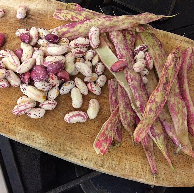 Fresh borlotti beans on tomorrow's menu thanks to @thefelixproject