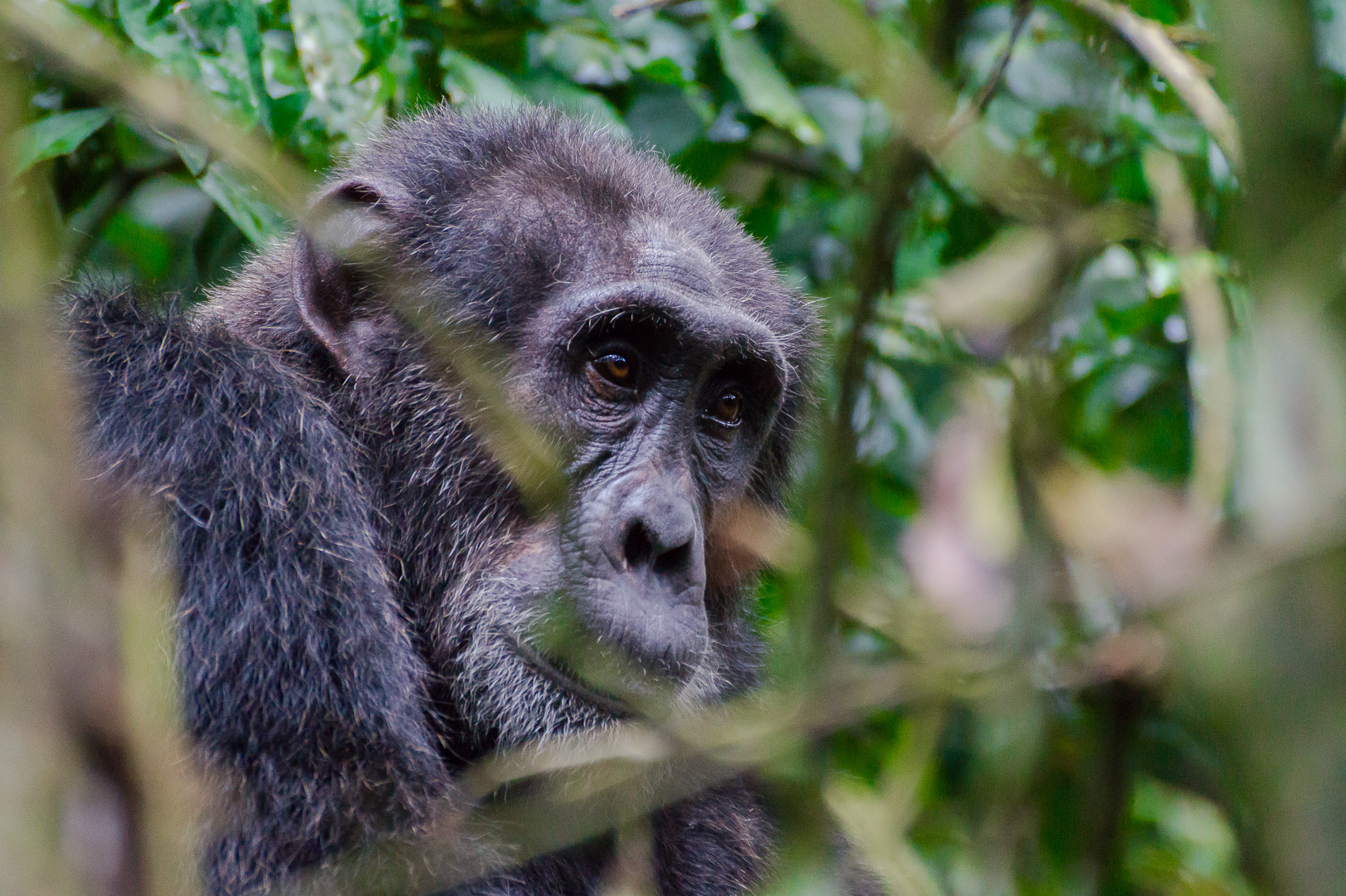 Chimp Tracking - Kibale National Park is best known for its 13 different types of primates and chimpanzee tracking.For more information contact Uganda Wildlife Authority www.uwa.or.ug