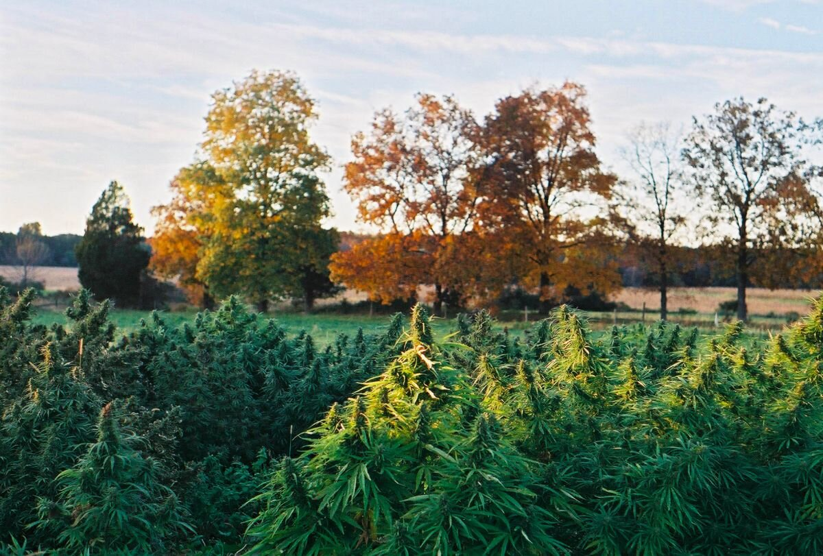 Fall Scenes at Hudson Hemp