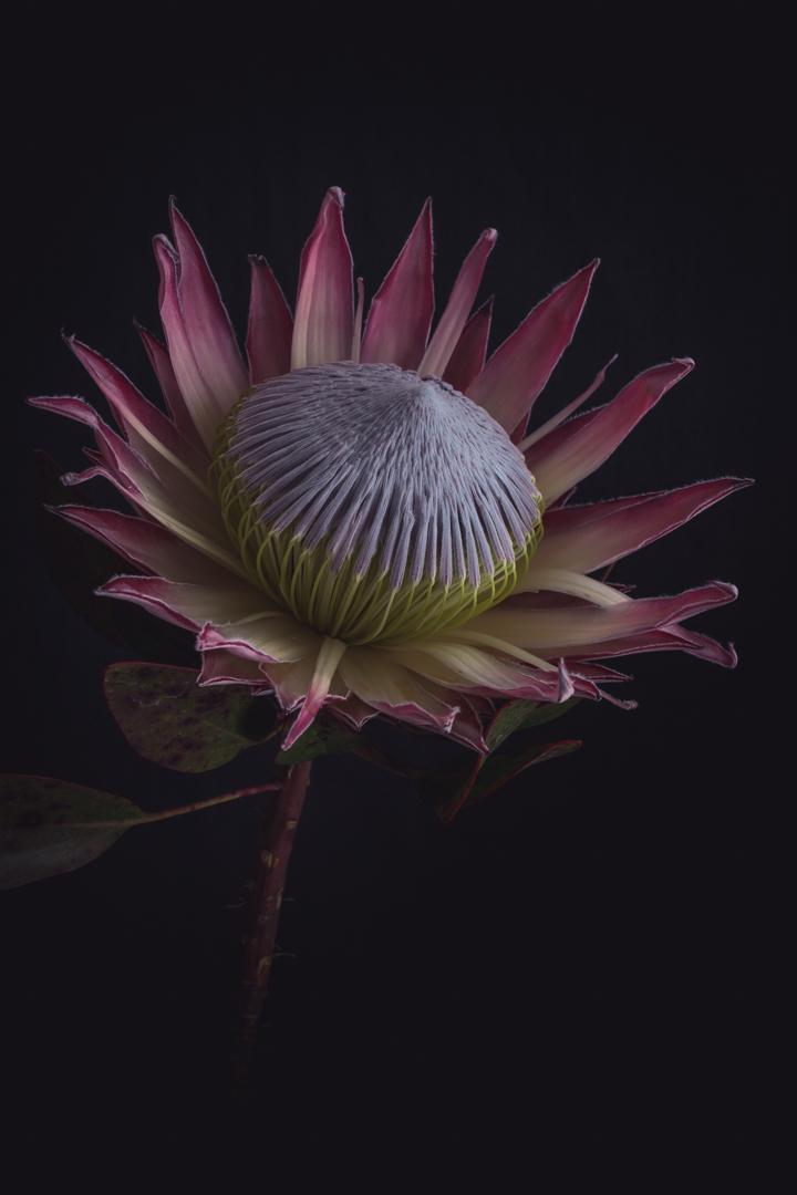 Australian native flora (5 of 15).JPG