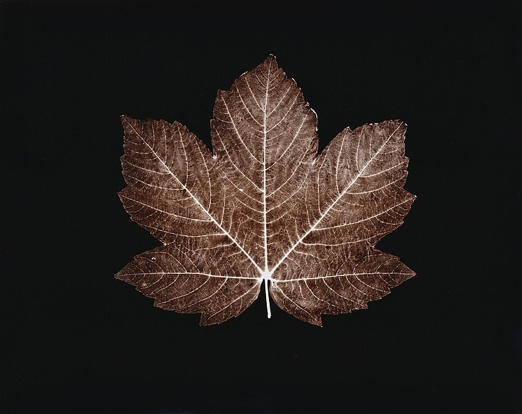 Red Leaf Maple, 2003
