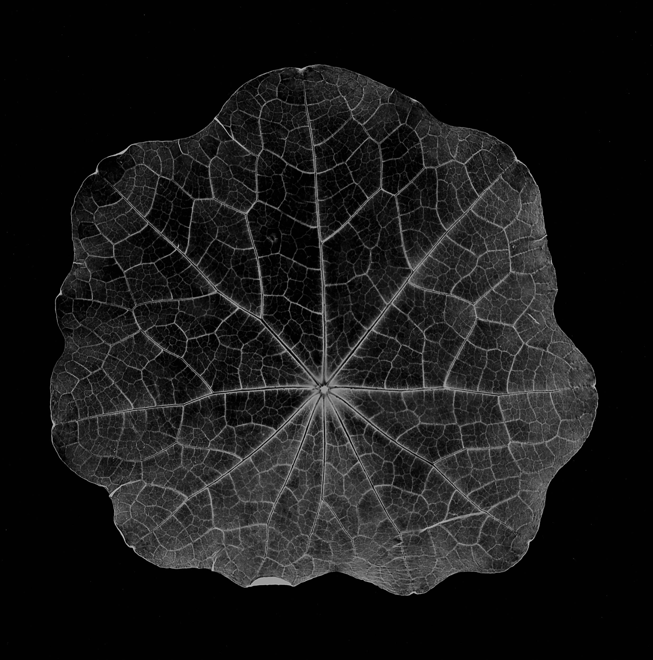 nasturtium leaf, 2001 gold-toned sunprint