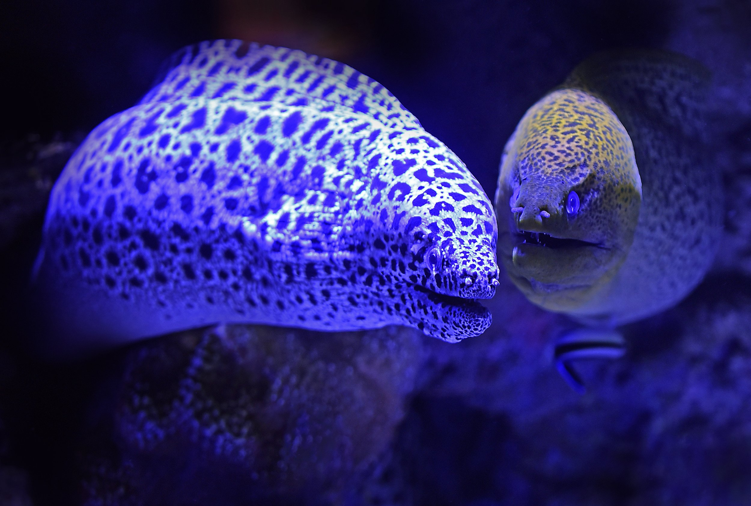 """""""What do you call an elf who sings? - a wrapper!"""" Two snowflake moray eels sharing a joke.  ©  David Clode."""