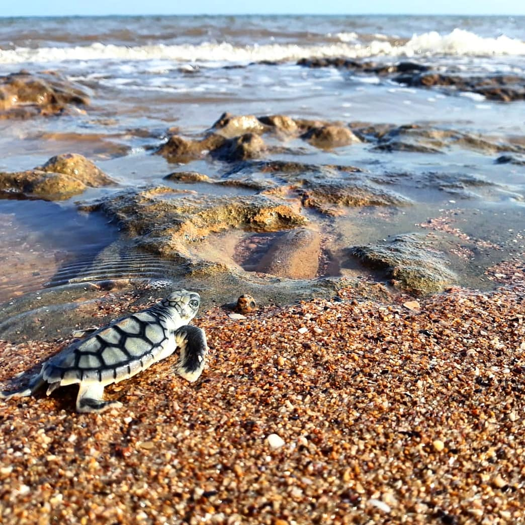 It's a long road ahead for this turtle to reach adulthood.