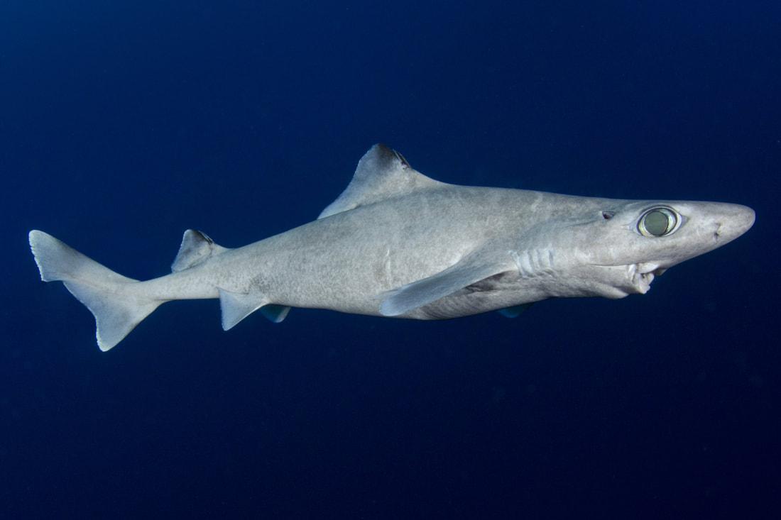 Blackfin Gulper Shark ( Centrophorus isodon ) Photo Credit: Andy Murch