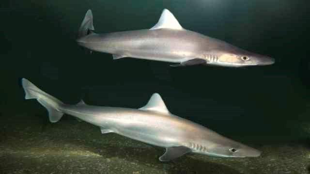 Tope Shark ( Galeorhinus galeus)  Photo Credit: Steve Parish Nature Connect