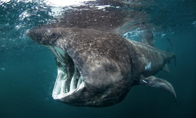 Basking Shark ( Cetorhinus maximus)  Photo Credits: Martin Prochazkacz