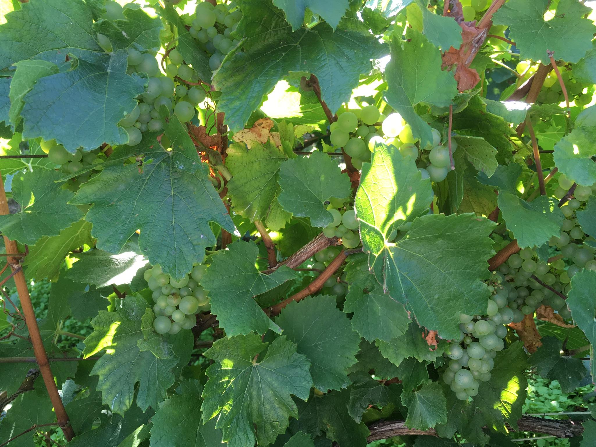 Un coup d'oeil dans les vignes le 26 août : des Chardonnays dans notre parcelle basse en Loisy-en-Brie.