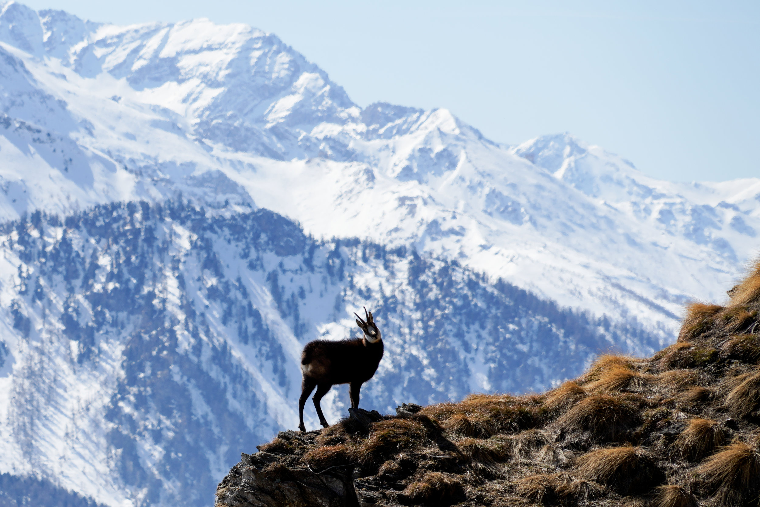 chamois - The real essence of mountains: emotions and efforts. Everything takes place from the sunrise to the sunset, go through the fresh air of autumn mornings since in winter storms, between steep paths and shaky stones.Chamois like live high up and you have to get there. No other way.