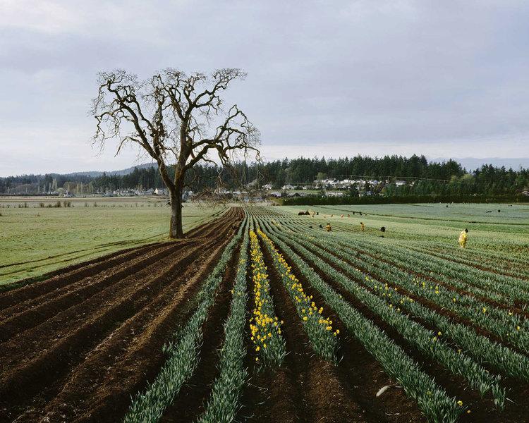 9_daffodil-field_0.jpg