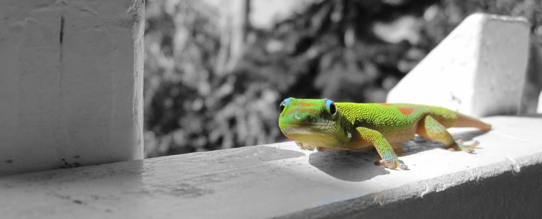 Hawaiian Smiling Gecko