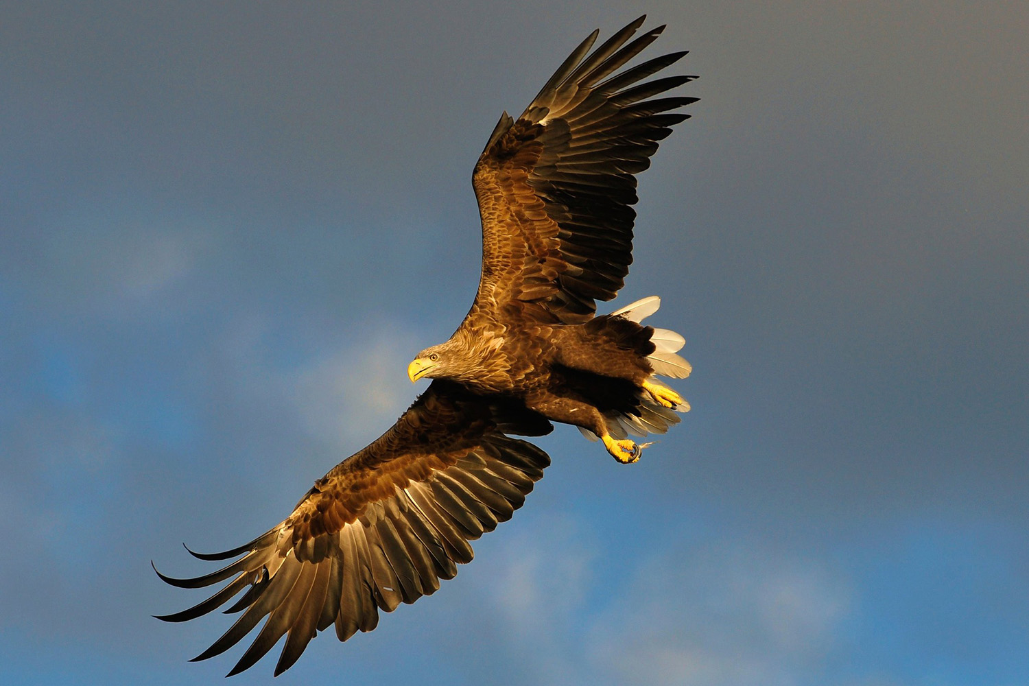Flatanger central Norway. Probably the best place to photograph white tailed eagles in the world!