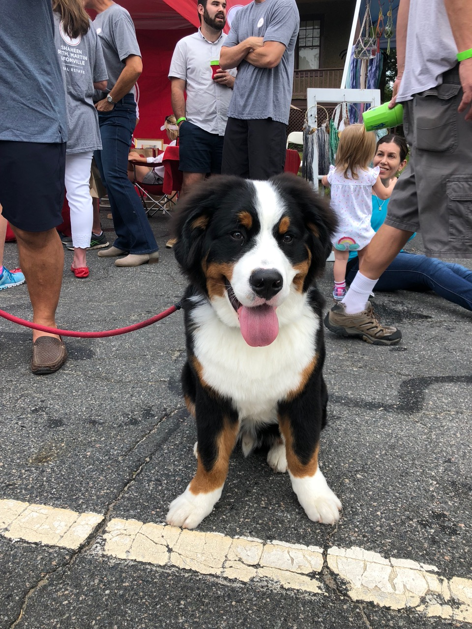 Bermese_mountain_dog_puppy_party_on_the_avenues_richmond_Virginia