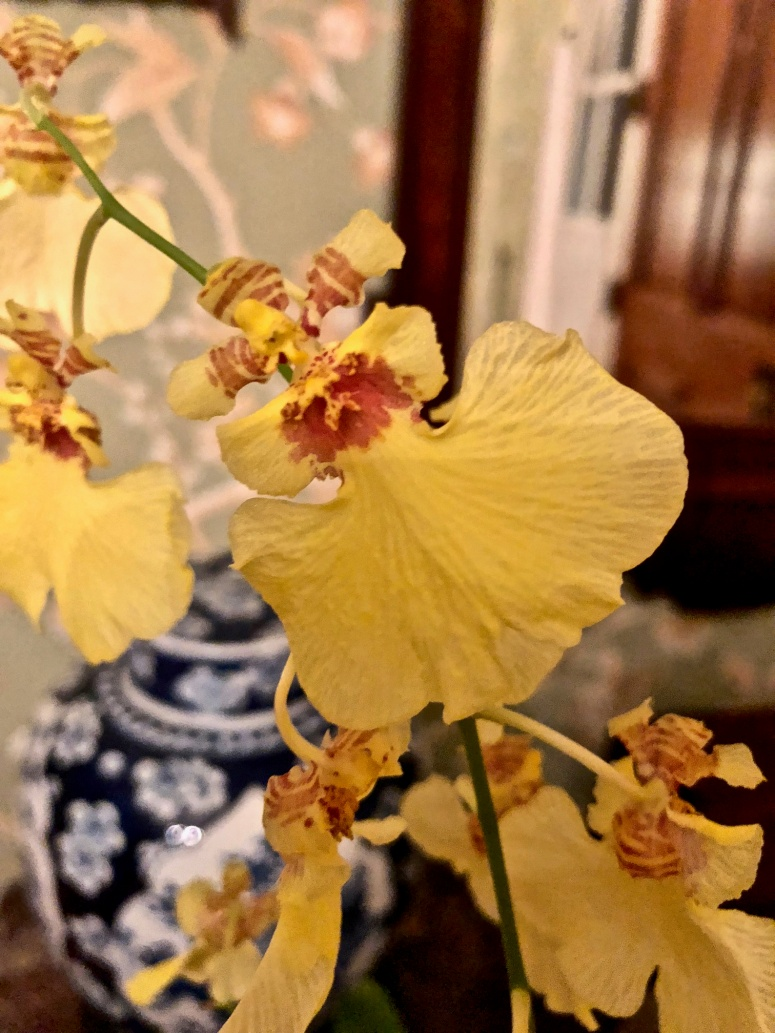Dancing_Lady_Orchid_Yellow_Blue_White_China