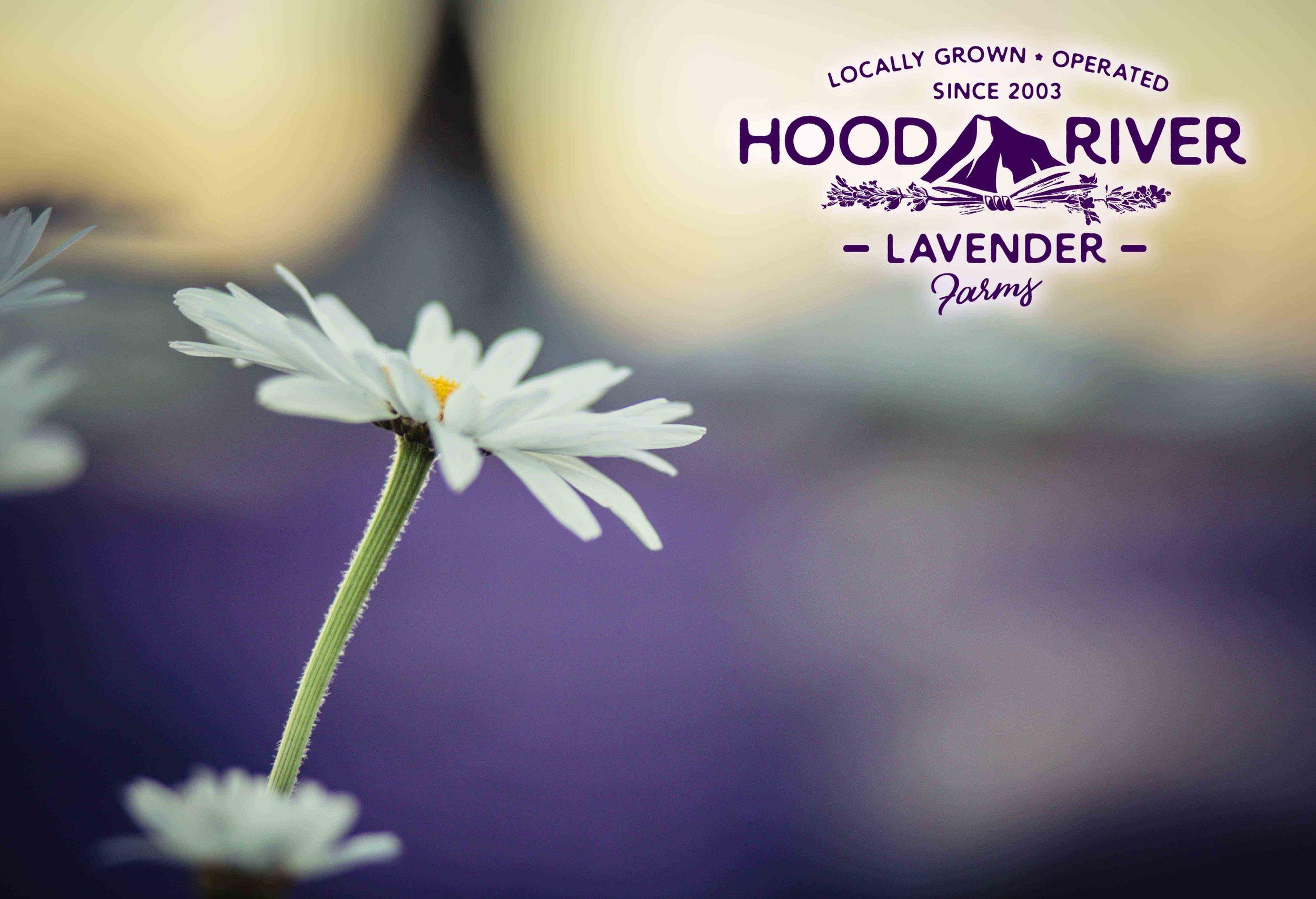 Hood River Lavender Farms 6Columbia Gorge buy lavender online hood river odell portland pacific northwest pnw creams lavender_-41.jpg