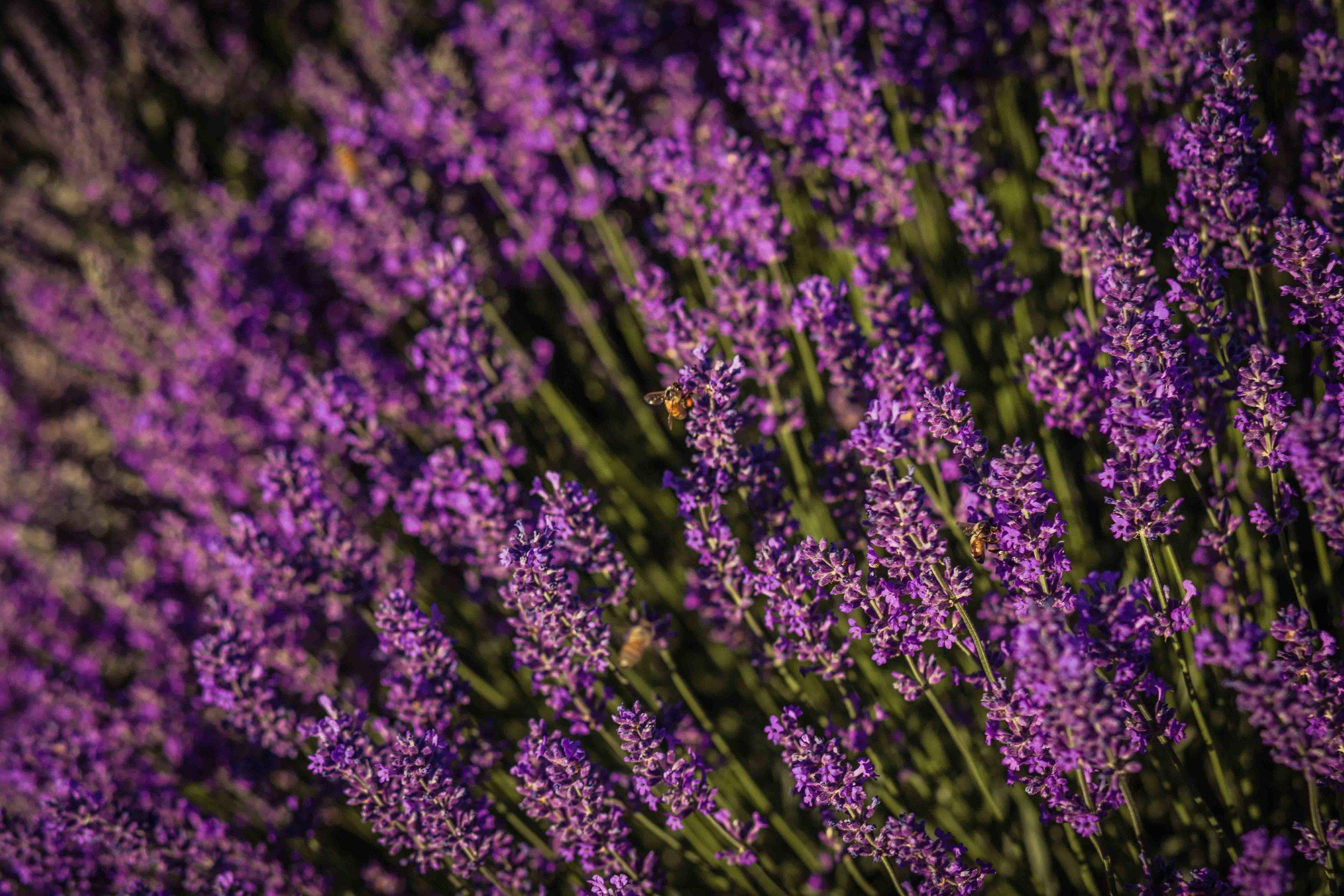 Hood River Lavender Farms Columbia Gorge buy lavender online hood river odell portland pacific northwest pnw creams lavender_-35.jpg