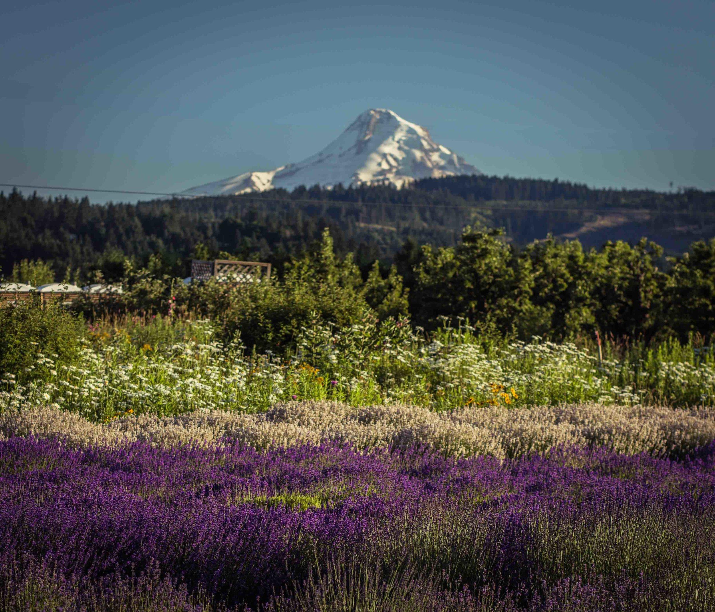 Hood River Lavender Farms Columbia Gorge buy lavender online hood river odell portland pacific northwest pnw creams lavender_-37.jpg