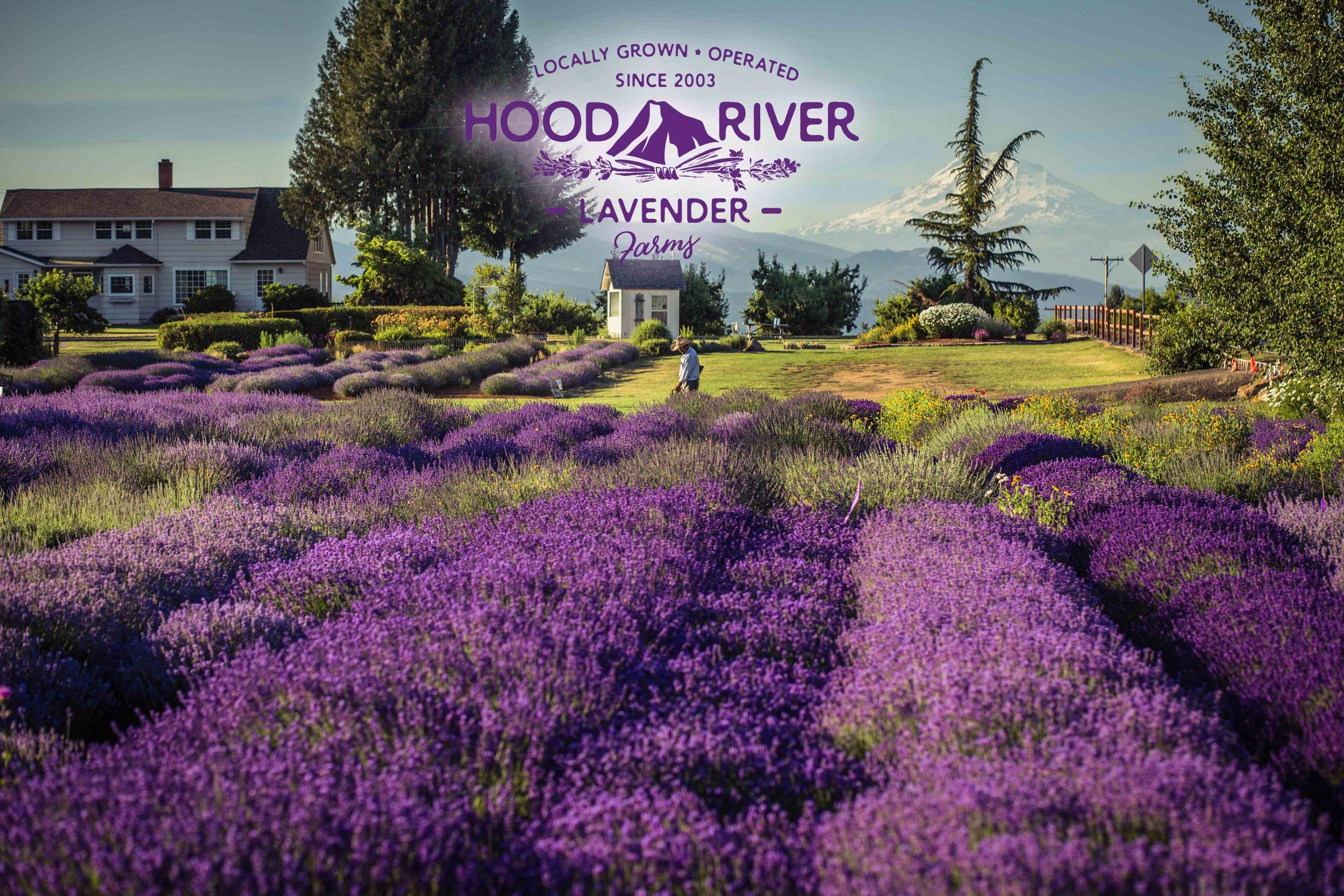 Hood River Lavender Farms 7Columbia Gorge buy lavender online hood river odell portland pacific northwest pnw creams lavender_-17.jpg