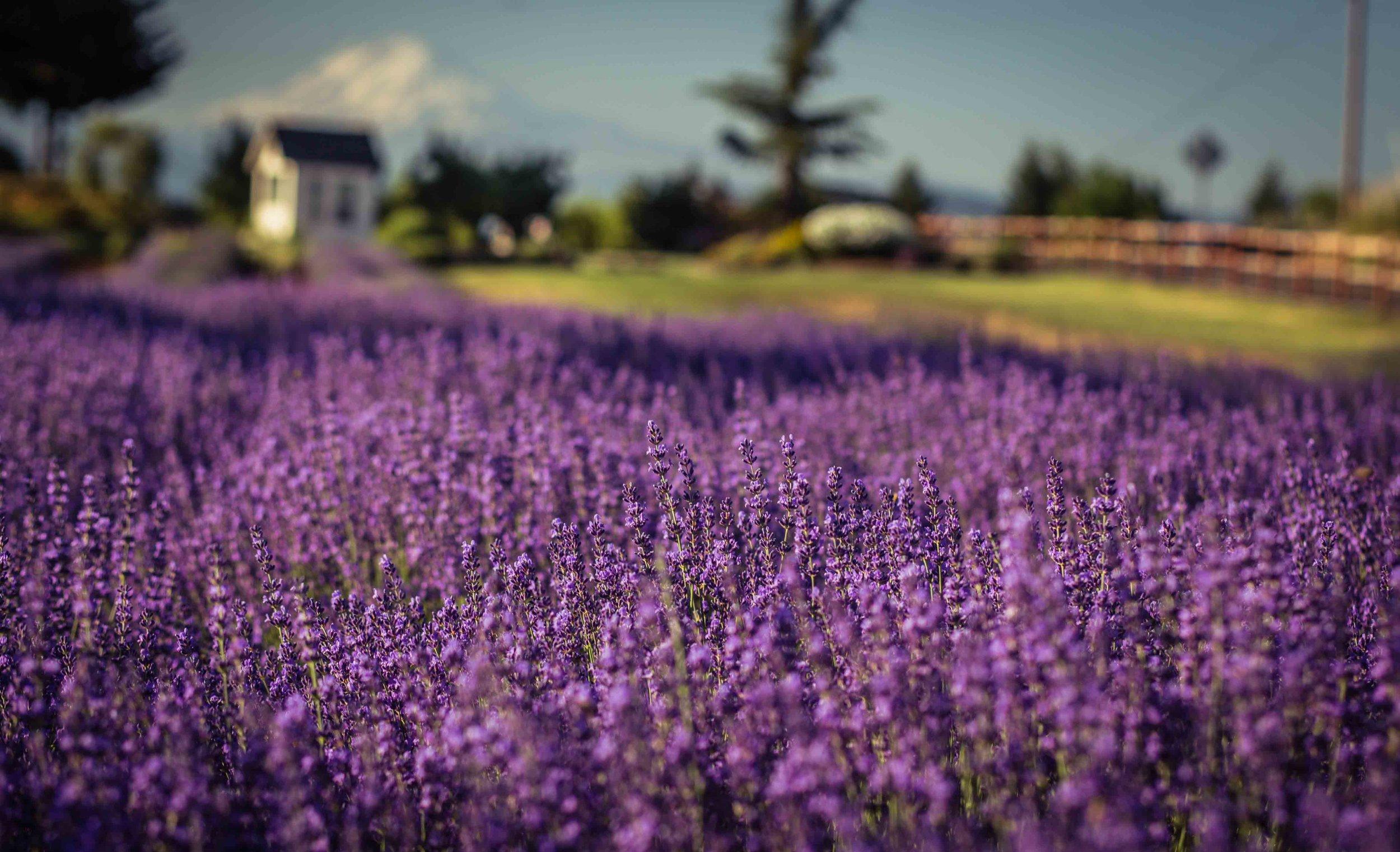 Hood River Lavender Farms Columbia Gorge buy lavender online hood river odell portland pacific northwest pnw creams lavender_-13.jpg