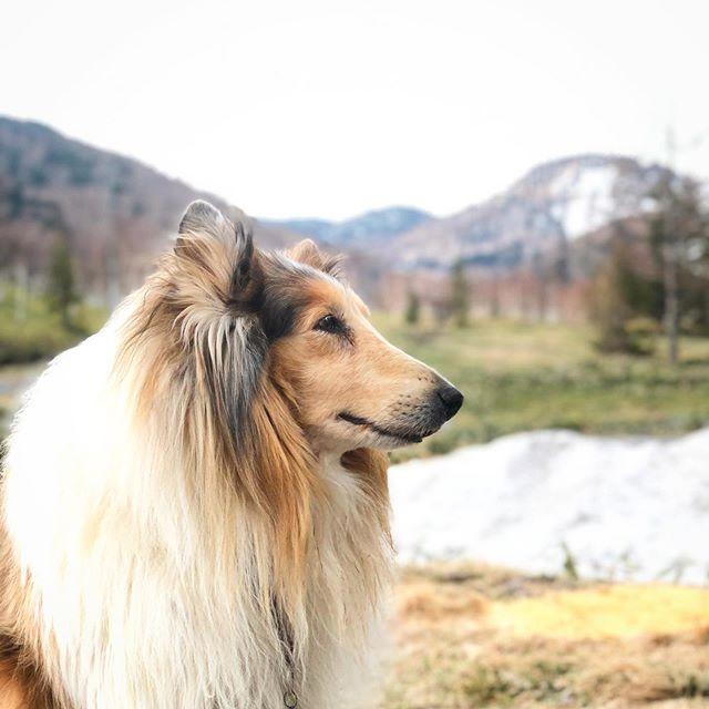 癒しの宿 幸の湯は、ペットと一緒にご宿泊いただけます。 . 野山をパートナーと共に散策してみませんか? . ※ペットとご一緒にお泊りいただけるお部屋には限りがあります。ペット同伴可の空室状況は、お問い合わせください。 0269-34-2902 . #志賀高原 #shigakogen #sachinoyu  #sachinoyuhotel #癒しの宿幸の湯  #ペットと泊まれる宿 #ラフコリー  #ペットとお出かけ #ペットは家族