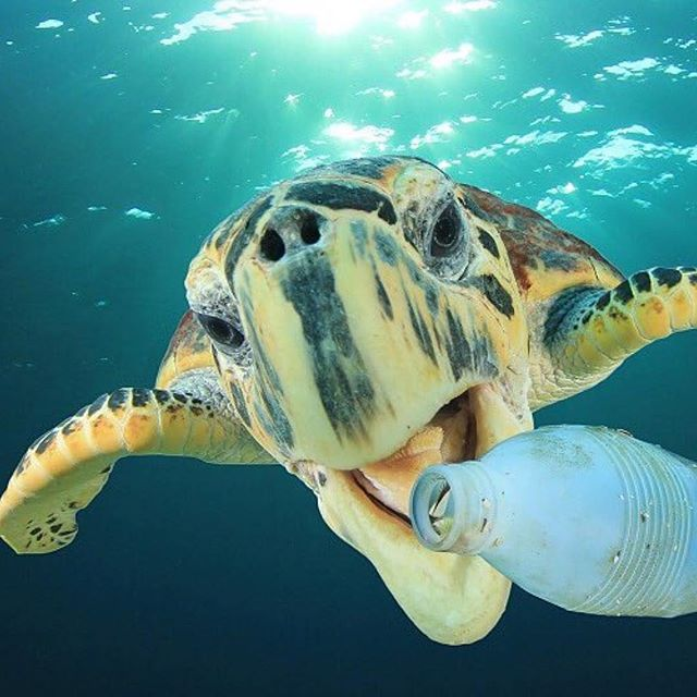 It's Sunday... most families pack up for the day and head out for a fun adventure. Packing a reusable water bottle is one of the easiest things you can do to be part of the solution. It saves the ocean and saves your wallet. Even if you live thousands of miles from the ocean your trash and single use plastic still ends up there!!! #singleuseplastic #reducereuserecycle #turtle #ocean #bethechange #Repost @recycleseas ・・・ @recycleseas ♻️ Fish, marine mammals and seabirds are being injured and killed by plastic pollution, and its it believed that 700 species could go extinct because of it .....