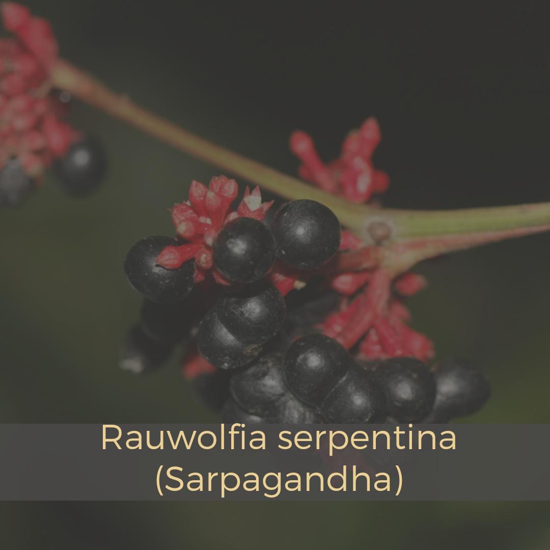 Rauwolfia serpentina (Sarpagandha).png