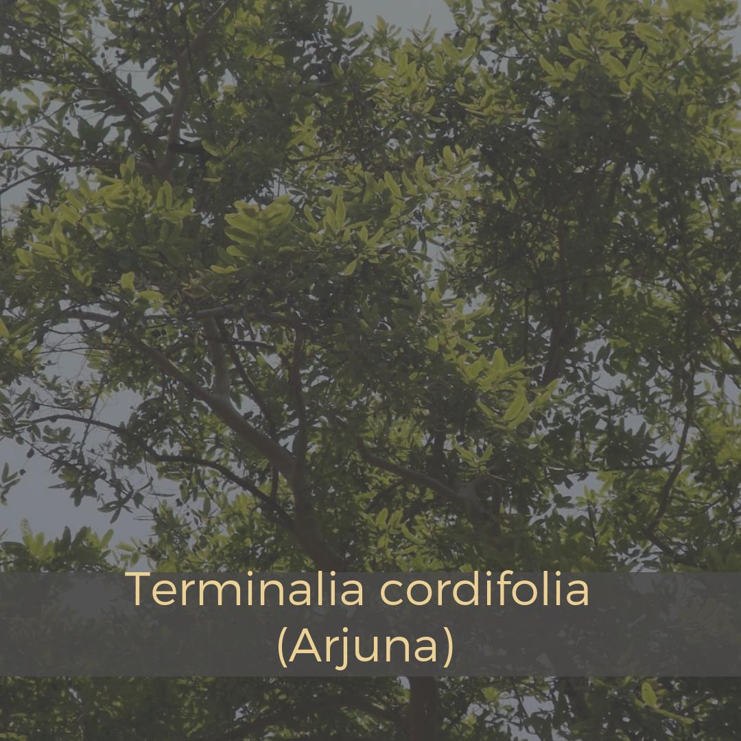 Terminalia cordifolia (Arjuna).png