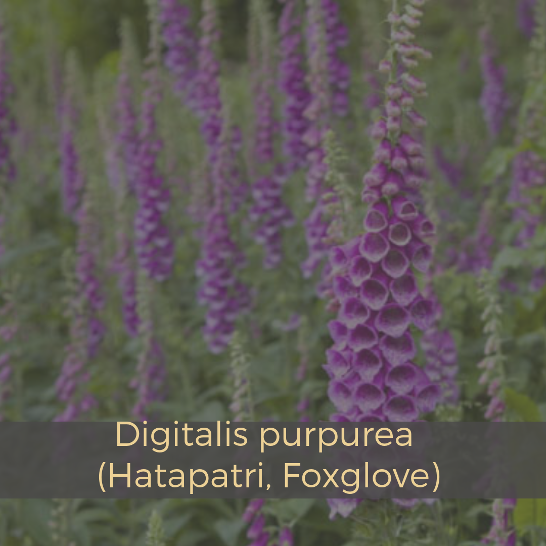 Digitalis purpurea (Hatapatri, Foxglove).png