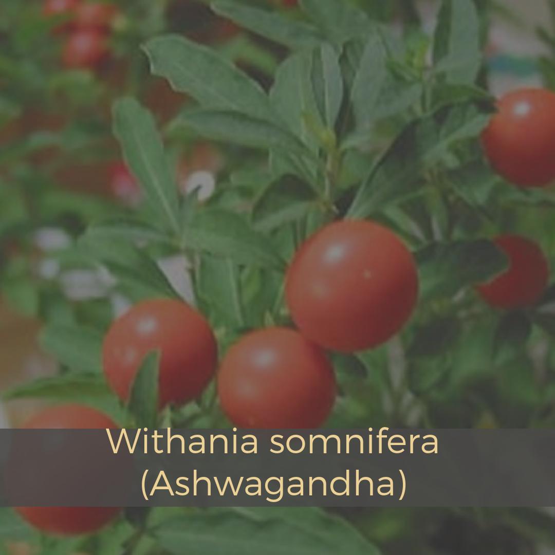 Withania somnifera (Ashwagandha).png