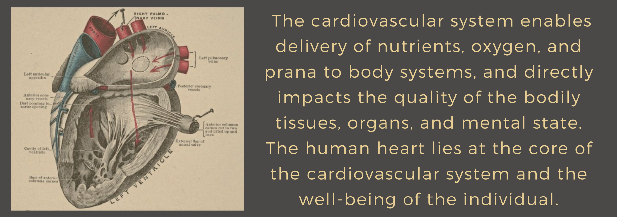 Gerson Ayurveda Cardiovascular System.png
