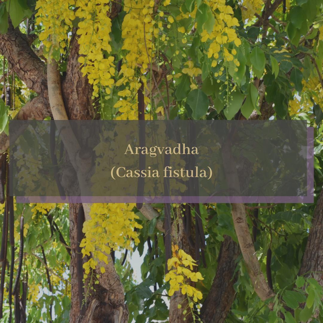 Aragvadha (Cassia fistula).png