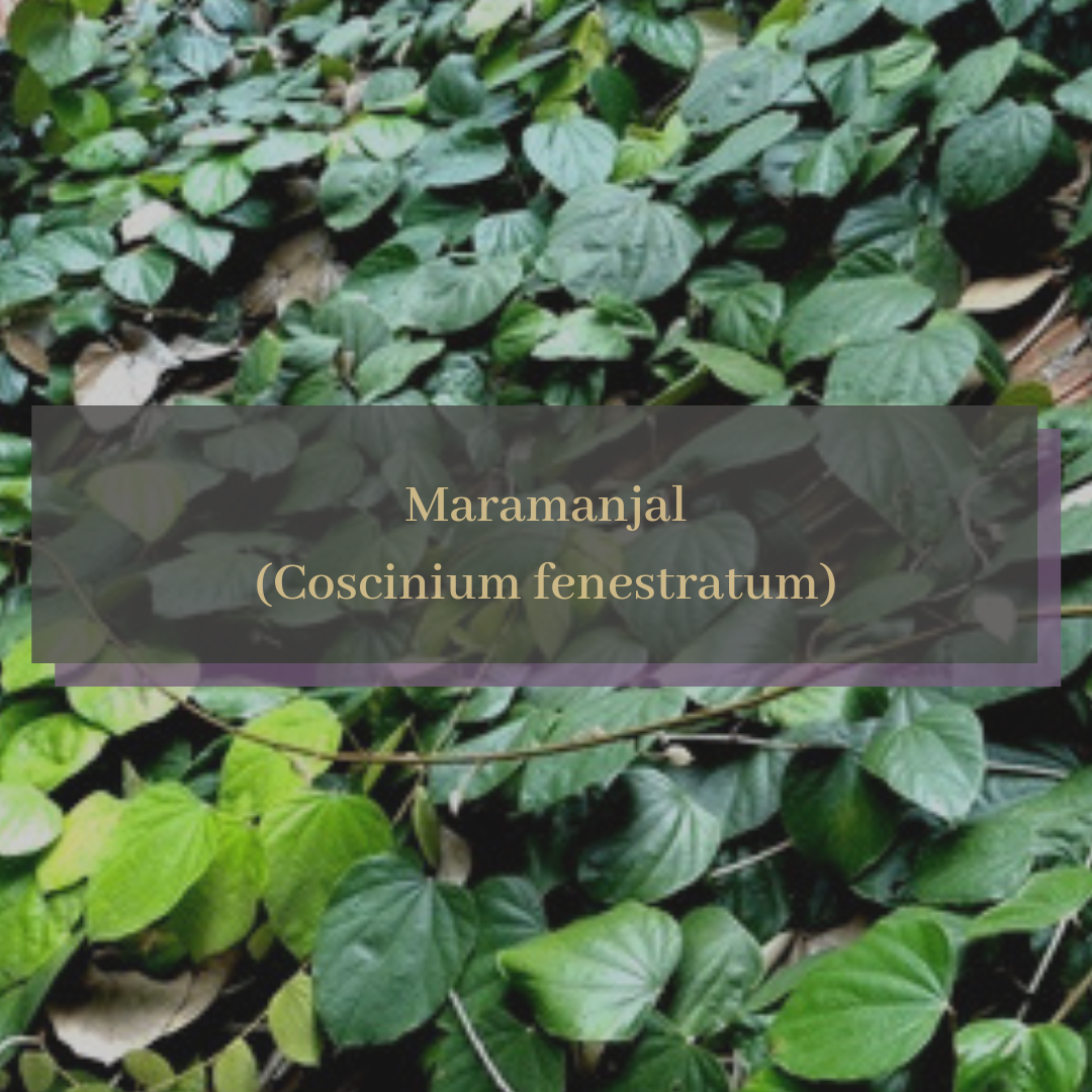 Maramanjal (Coscinium fenestratum).png
