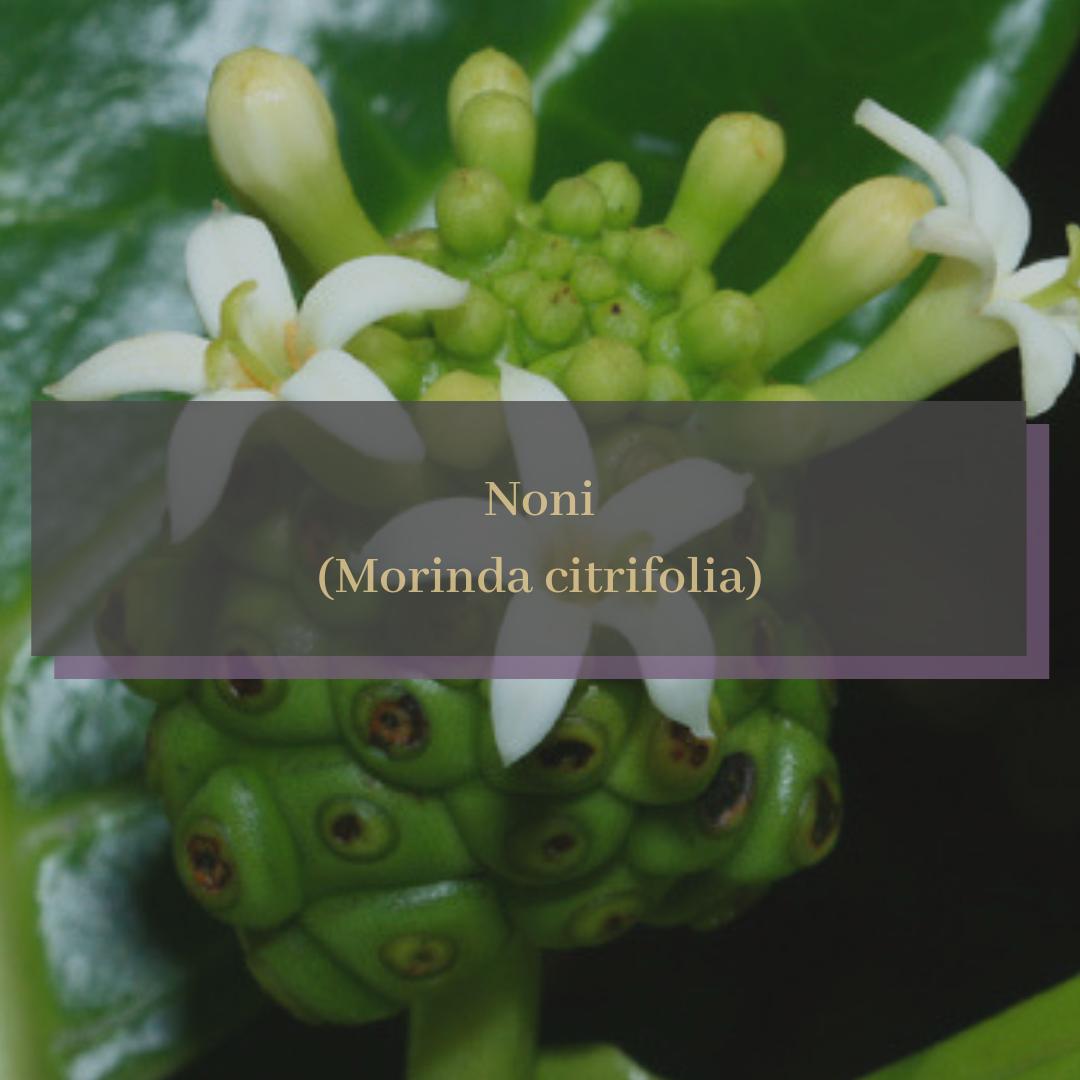 Noni (Morinda citrifolia).png