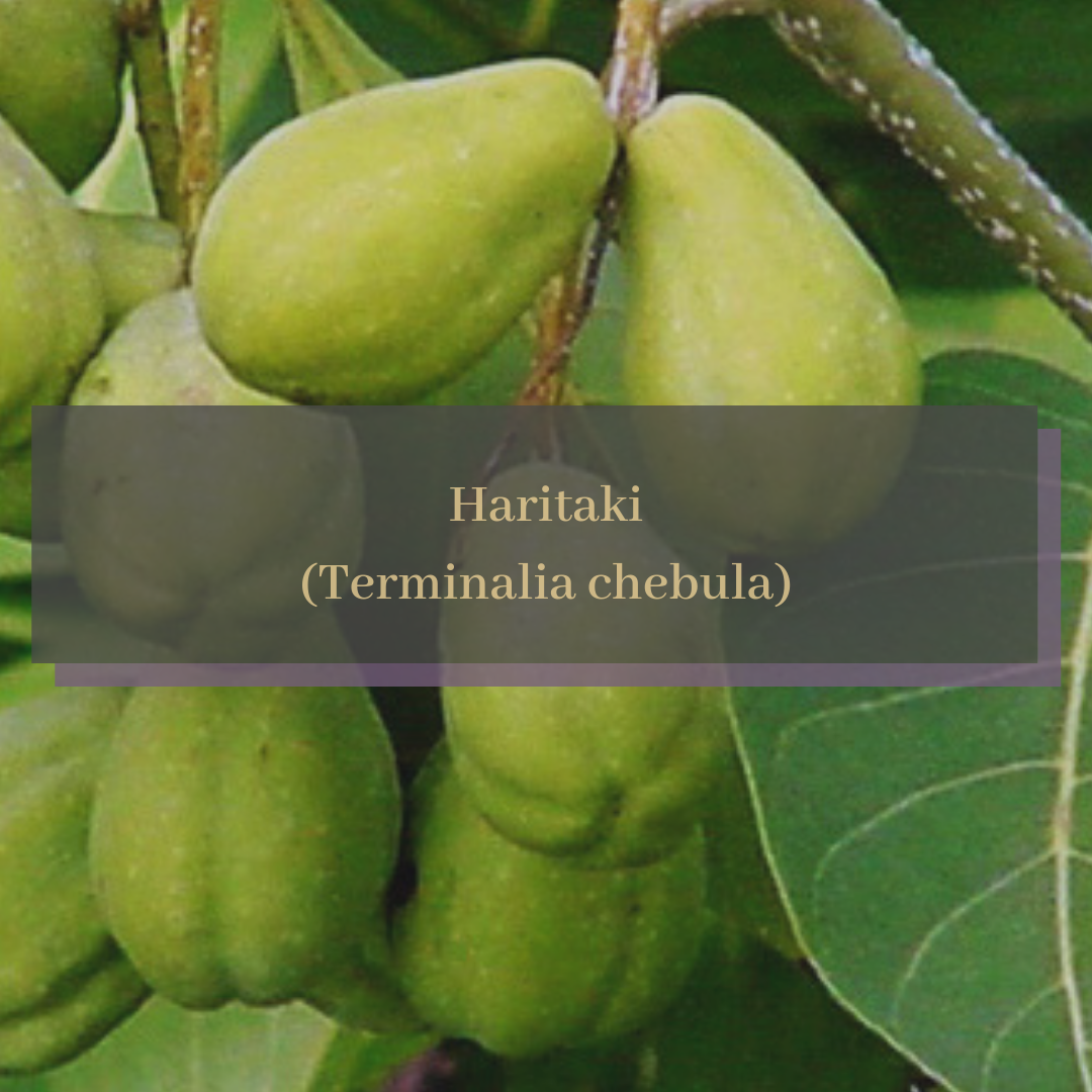 Haritaki (Terminalia chebula).png
