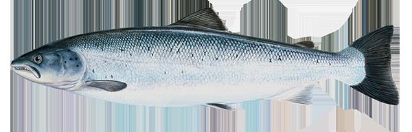 Atlantic salmon - Salmo salar - Lax