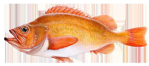 Golden Redfish - Sebastes marinus – Karfi