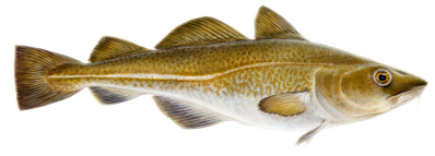 Atlantic cod is a mild white fish with a tender texture. A popular choice that is low in fat and very versatile. - Nutrition Facts (100g)Energy 78 kcalProtein 18,1 gUnsaturated Fat 0,3 gSaturated Fat 0,1 gCholesterol 50 mgWater 81,2 g