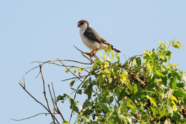 pygmy-falcon-1.jpg